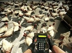 Counter-Strike: Global Offensive - Chickens vs C4