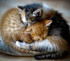 kitten cuddles pair