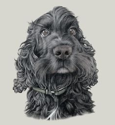 This is one of the best drawings I have seen of a black Cocker Spaniel -- done by Steph Dix