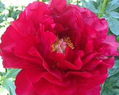 Alexander Woollcott - Early Hybrid, semi-double, red, fire-engine crimson, large flowers, strong stems, [Albiflora X Lobota] (Saunders, 1941). www.peonyshop.com
