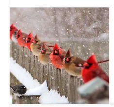Northern Cardinals - 51 Best Winter Bird Photos Ever - Birds and Blooms Pretty Birds, Love Birds, Beautiful Birds, Animals Beautiful, Buy Birds, Hirsch Illustration, Animals And Pets, Cute Animals, Cardinal Birds