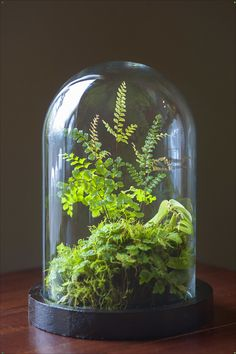 jungle by Tobias Davidson Stolp in dutch or known as bell glass or terrarium. I've been working for years to make the perfect selfsustaining micro biotope. I've finally figured out what the best temparature, hydration and soil is. Ideas Florero, Indoor Garden, Indoor Plants, Terrarium Cactus, Paludarium, Vivarium, Bottle Garden, Landscaping Software, Rare Flowers