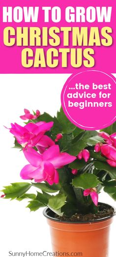 How to grow Christmas cactus, a great indoor houseplant to grow. These succulents have beautiful flowers that bloom around Christmas time. Indoor Cactus, Cactus Plants, Indoor Plants, Cactus Art, Pot Plants, Indoor Gardening, Vegetable Gardening, Christmas Cactus Plant, Leaves Changing Color