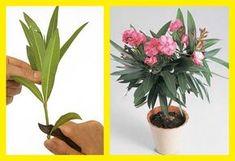 Ha megfogadod az alábbi tanácsokat, akár egy kis ágacskábol is hamarosan színpompás bokrot nevelhetsz. A leanderek szaporítása nem egyszerű dolog. Viszonylag könnyen gyökereznek, de az új növény nehezen marad meg, ha nem ismerjük a trükkjét a szaporításnak. Dog Houses, Flowers, Gardening, Gardens, Plant, Lawn And Garden, Dog Kennels, Royal Icing Flowers, Flower