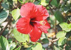 Hibiskustee aus eigenen Blüten, Pflege der Hibiskuspflanze.