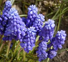 Mnohé druhy cibulnatých květin mají rády stinná místa pod stromy nebo většími keři. Jsou to vesměs druhy, které v přírodě rostou v listnatých