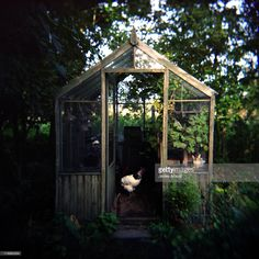 White hen in an overgrown wooden greenhouse.