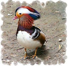 mandarin duck ., via Flickr.