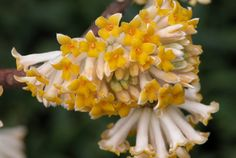 Paperbush - Norfolk Botanical Garden