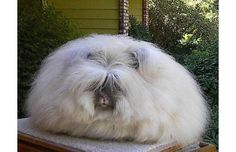 The Angora rabbit is a variety of domestic rabbit bred for its long, soft wool. The Angora is one of the oldest types of domestic rabbit, originating in Ankara (historically known as Angora), present day Turkey, along with the Angora cat and Angora goat. Interesting Animals, Unusual Animals, Rare Animals, Animals Beautiful, Strange Animals, Ugly Animals, Weird Looking Animals, Angora Bunny, Endangered Species