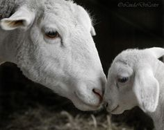 Mother Sheep and her baby