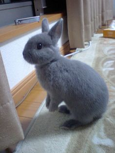 Netherland Dwarf rabbit like Leila