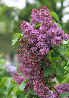 Evocative of childhood memories, lilac fragrance need not mean making room for a large, leggy plant in your landscape. These days, there are some new dwarf lilacs to choose from. If you have the space, the old-fashioned common lilac can provide a lush, green screen when out of bloom or can be pruned and trained into a charming small tree.  But for flower borders and containers, the dwarf Korean lilac and other newer hybrids bring lilac perfume up close.