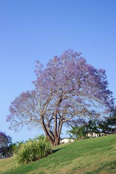 Three free background images of a jacaranda tree - http://www.myfreetextures.com/three-free-background-images-of-a-jacaranda-tree/