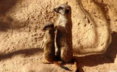 free high resolution wallpaper meerkat