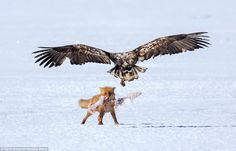 The fox proudly holds the bone tight in its jaws as an eagle descends to challenge the ani...