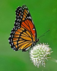 Monarch Butterfly on White Flower  FREE