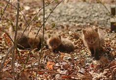 raposinhas, filhotes