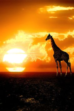 Giraffe - Africa