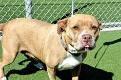 SUGAR  Dog • Pit Bull Terrier • Senior • Female • Large  San Luis Obispo County - Animal Services Division San Luis Obispo, CA  SUGAR is an adoptable Pit Bull Terrier searching for a forever family near San Luis Obispo, CA. Use Petfinder to find adoptable pets in your area.