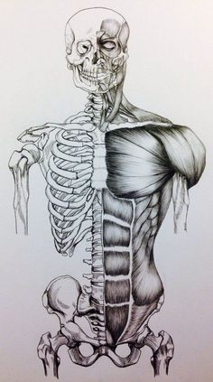 Anatomy Drawing Medical Skull to Pelvis Bone/Muscle Study Front View by BillyDoubleU - Human Anatomy Drawing, Human Figure Drawing, Body Drawing, Life Drawing, Drawing Faces, Drawing Art, Drawing Tips, Drawing Ideas, Anatomy Sketches