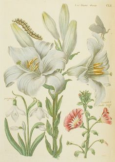 Lis Blanc Droite 1771