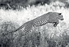 A leaping adult leopard - The Independent