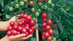 Cherry Tomato Plant, Tomato Plants, Growing Plants, Growing Vegetables, Determinate Tomatoes, Quick Garden, Growing Tomatoes In Containers, Home Garden Plants, Gardens
