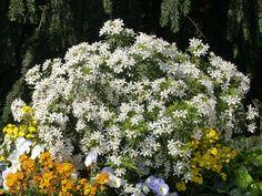 Choisya ou Oranger du Mexique 'White Dazzler'