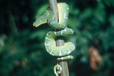 Emerald green tree boa