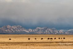Bison graze on the Colorado Front Range plains while in the background are the Flatirons near Boulder. (© Tony's Takes)