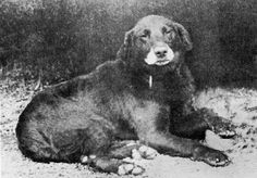 "Buccleuch Avon (b. 1885) was one of the founders of the modern Labrador, and he carried the ""liver"" gene. He is believed to be the ancestor of all chocolate Labs.  Photo Credit: U.P. Labradors"