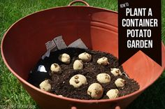 How to Grow a Container Potato Garden- it's so simple and fun for the kids!