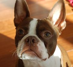 One day I will have a brown and white boston terrier. Tug is half of this :)