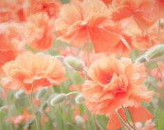 CANVAS ART: Poppy Flower Photo Peach by PaulaGoffPhotography