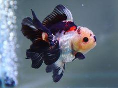 Fish Breeding, Kitty Kitty, Aquariums, Carp, Aquarium Fish, Goldfish, Betta, Mercedes Benz, Cute Animals
