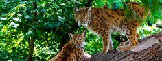 Couple de Lynx d'Europe sur un tronc d'arbre en été Lynx Captif © PlanetNoé - J-L Klein & M-L Hubert