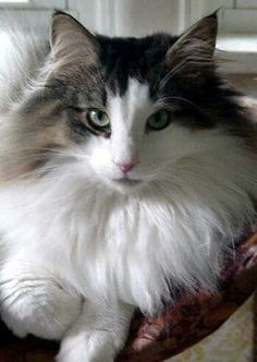 Norwegian forest: Cat Norja, Cat Jacobs, Norwegian Forest Cats, Cat Jason S, Cat Lady Cute Cats And Kittens, Cool Cats, Kittens Cutest, Ragdoll Kittens, White Kittens, Tabby Cats, Funny Kittens, Bengal Cats, Black Cats