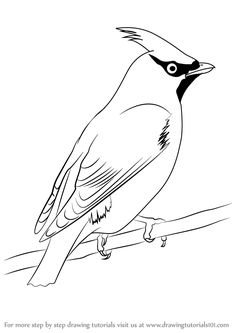 Learn How to Draw Bohemian Waxwing (Birds) Step by Step : Drawing Tutorials