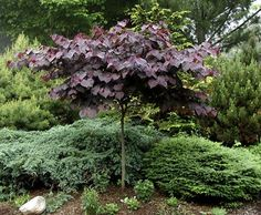 Full size picture of Eastern Redbud, Canadian Redbud, Judas Tree 'Forest Pansy' (Cercis canadensis)