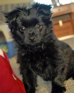 Yorkie Pomeranian Mix Black