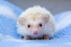hedgie color apricot or champagne..