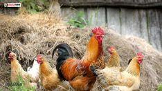 #kỹ_thuật_nuôi_gà_nhốt_chuồng Đối với một số hộ chăn nuôi không có diện tích đất chăn nuôi lớn thì kỹ thuật nuôi gà nhốt chuồng là phương pháp đảm bảo chăn nuôi gà hiệu quả. Tuy nhiên, mỗi mô hình luôn có những ưu nhược điểm riêng. Vậy cần làm gì để việc chăn nuôi đạt kết quả tốt nhất? Cùng chúng tôi tìm hiểu trong bài viết dưới đây nhé! Chicken Coop Kit, Hen Chicken, Building A Chicken Coop, Chicken Eggs, Country Chicken, Best Egg Laying Chickens, Keeping Chickens, Chickens And Roosters, Raising Chickens