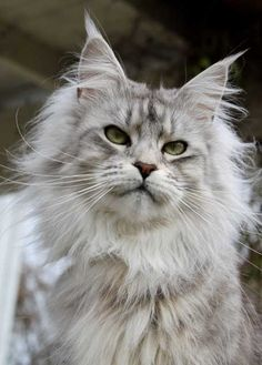 Maine Coon von Alveran http://www.mainecoonguide.com/where-to-find-maine-coon-kittens-for-sale/