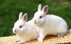 Ban on animal testing - European Commission bunny rabbit