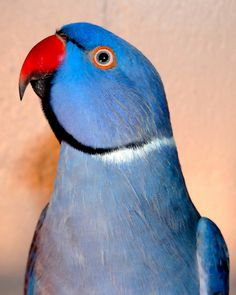 """Violet Indian Ringneck...he's not really a """"product"""", but I sure would like one of these!"""