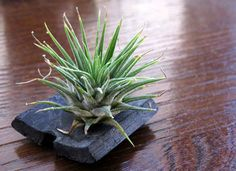 Air Plants (Tillandsias)