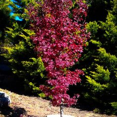 trendy red maple tree front yards fall - All For Garden Red Maple Tree, Red Tree, Evergreen Tree Tattoo, Palm Tree Pictures, Modern Tree House, Privacy Plants, Columnar Trees, Backyard Landscaping, Backyard Privacy