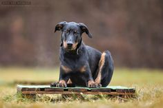 Beauceron, by Vicky Groebl.
