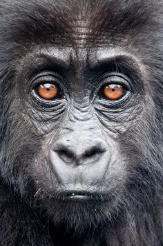 The Gorilla Doctors' outstanding work continues to see mountain gorilla populations rise, while other great apes, such as orangutans, decline. A young mountain gorilla looks into the camera during the Village of Hope project in Rwanda Gorillas In The Mist, Baby Gorillas, Primates, Beautiful Creatures, Animals Beautiful, Chimpanzee, Orangutans, Magnificent Beasts, Ape Monkey